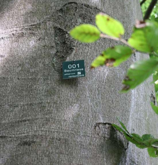 An environmentally-friendly plaque was attached to trees to identify them as 'giant trees'. (Sustainable project: 1,000 giant trees)