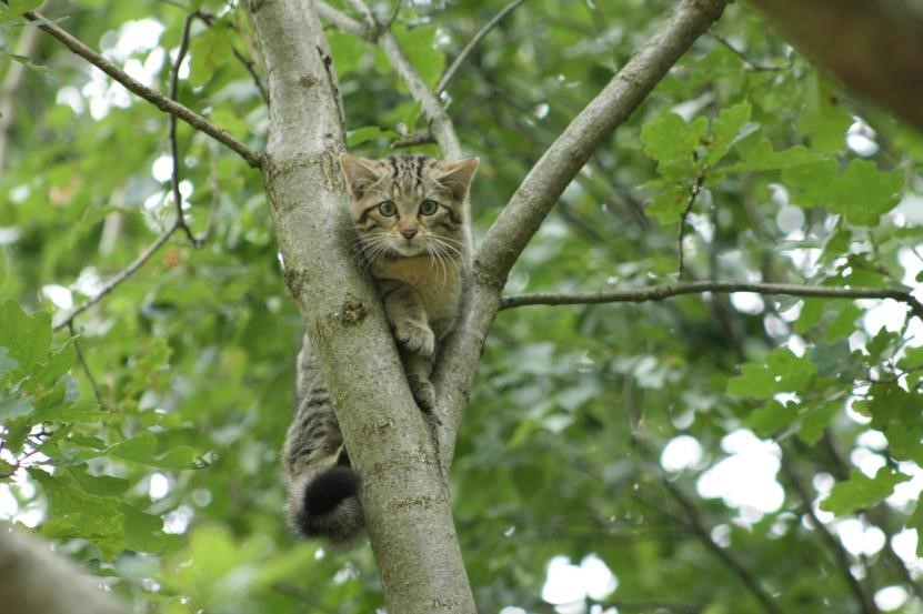 A wild a cat in Buchenborn forest. (Sustainable project: On silent paws)